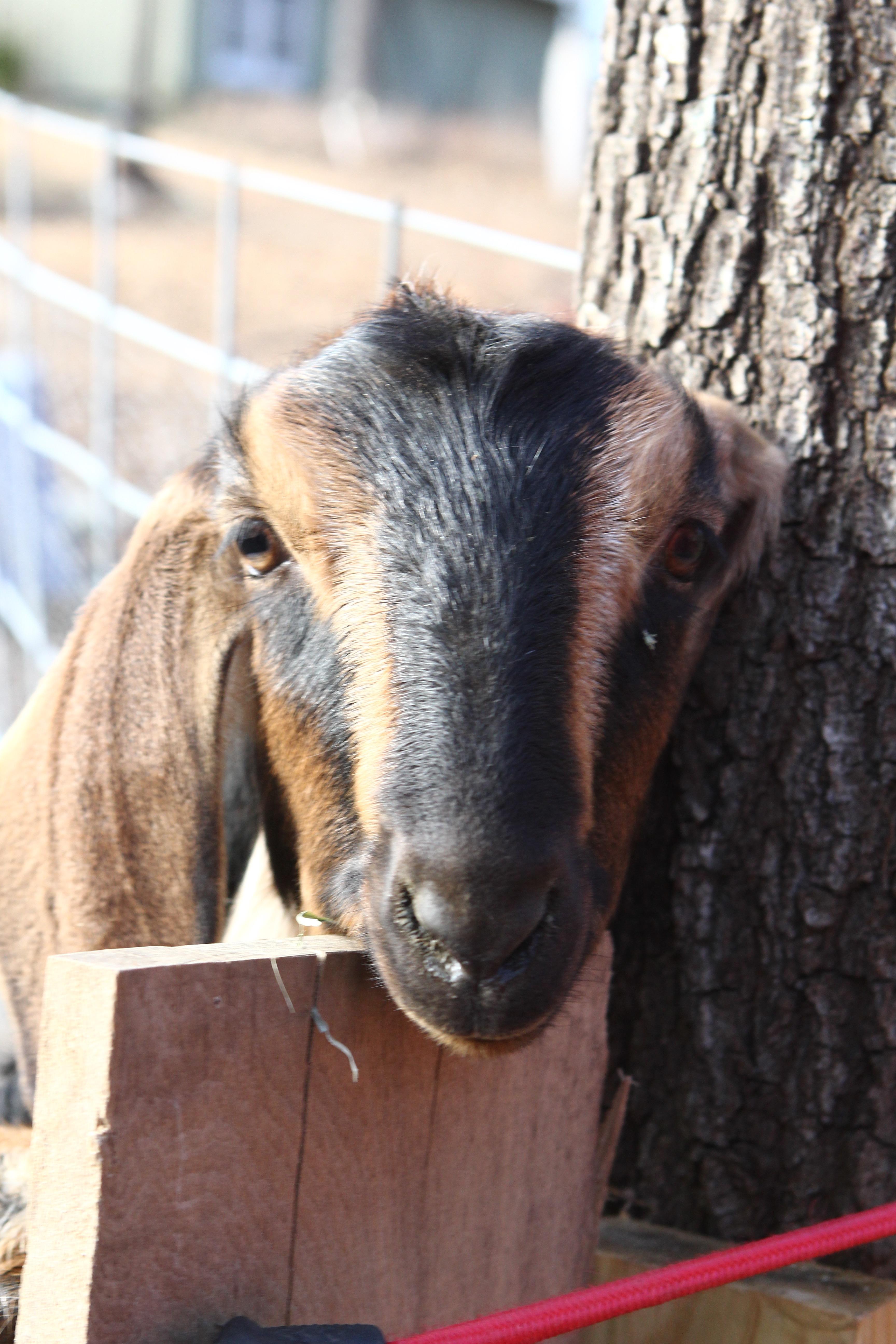 Our Mini Nubian Goats Wynott Farm Mini Nubian Goats