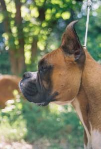 Our Boxer Atlas Keeps An Eye on the Farmyard